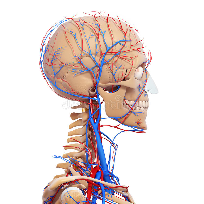 Skeleton Of Male Head Circulatory System Royalty Free Stock Images