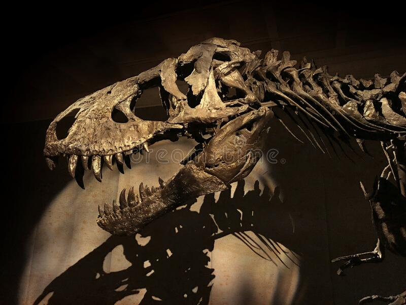 The skeleton of the 66 million years old Tyrannosaurus Rex dinosaur royalty free stock image