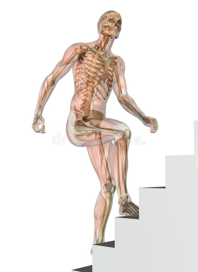 Skeleton with Muscles - Climbing Stairs stock illustration