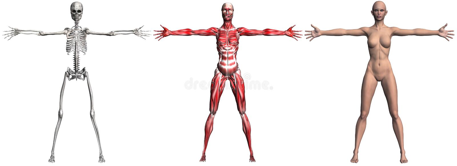 Skeleton and Muscles of a Human Female stock illustration
