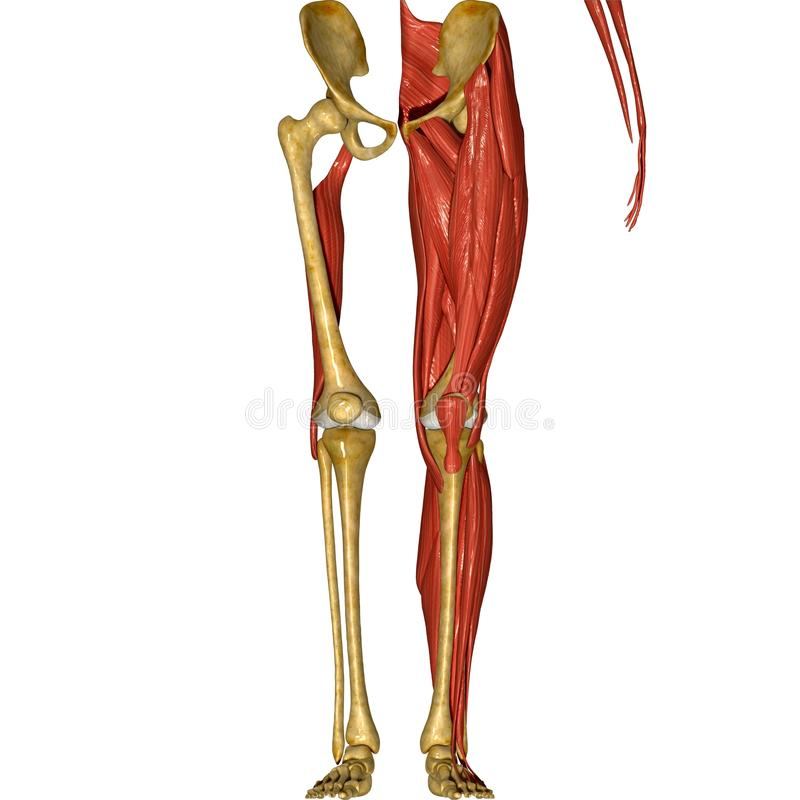 Skeleton And Muscles Of Legs Stock Illustration Illustration Of