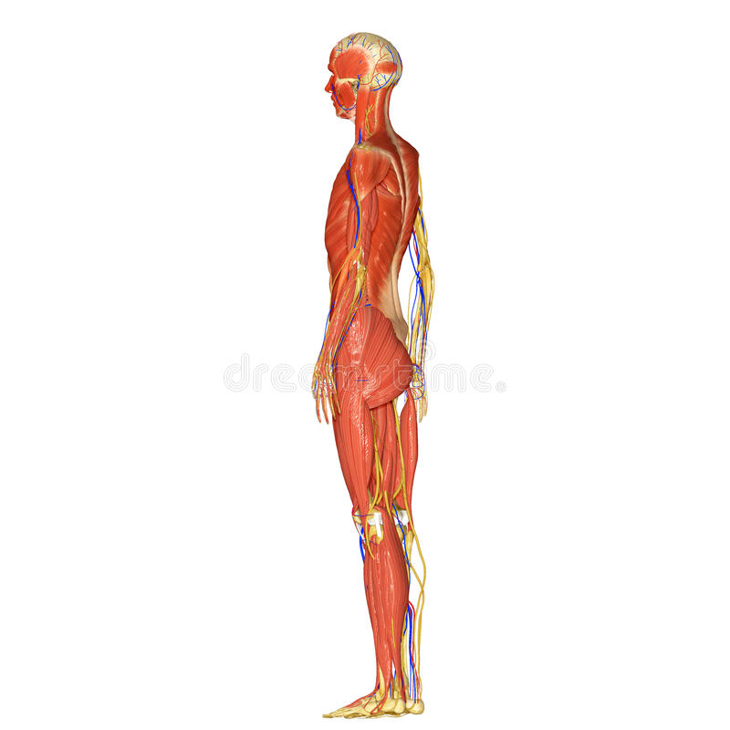 Skeleton With Muscles Side Stock Photo Image Of Clavicle 43014294