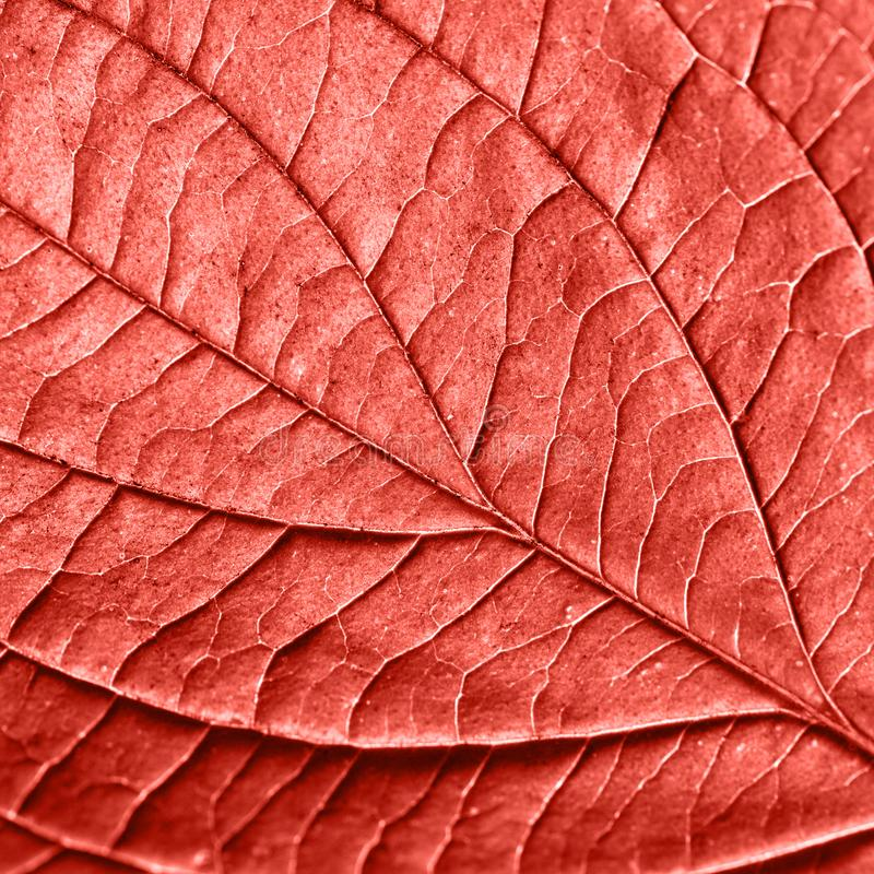 Skeleton of natural pattern leaf with veins. Creative backgrop for your ideas in a color of the year 2019 Living Coral stock photography