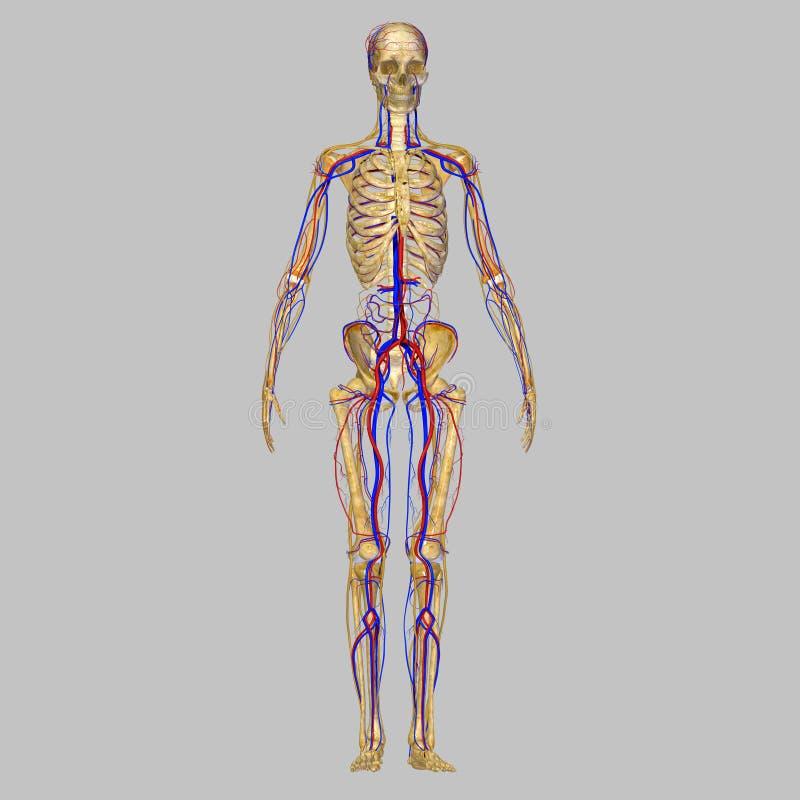 Skeleton with nervous system stock illustration