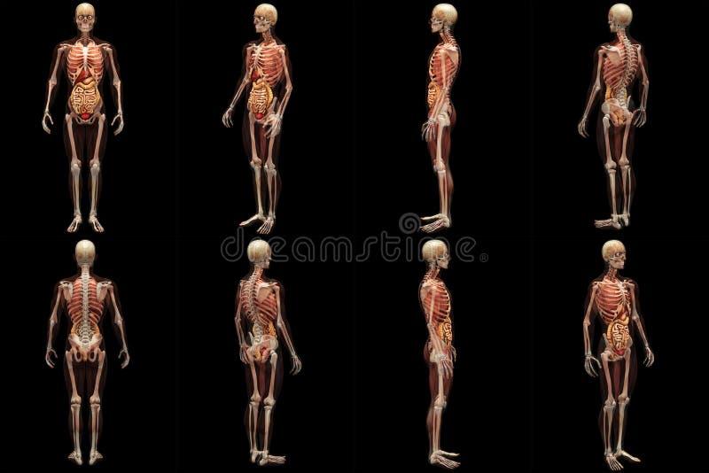 Skeleton Röntgenstrahl mit den Muskeln und den inneren Organen lizenzfreie abbildung