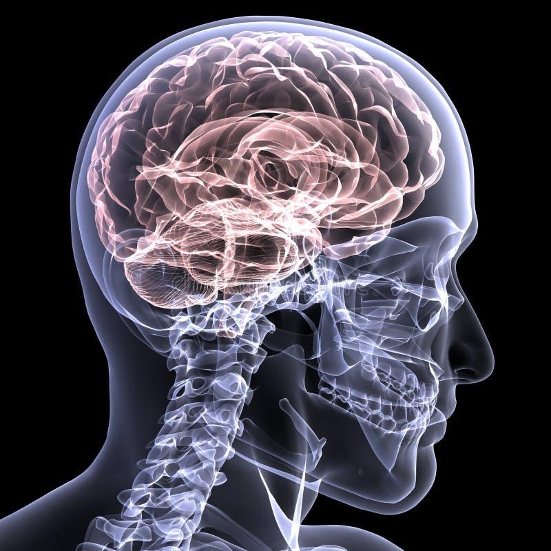 Download Skeleton X-Ray - Brain 1 stock illustration. Illustration of health - 4742213