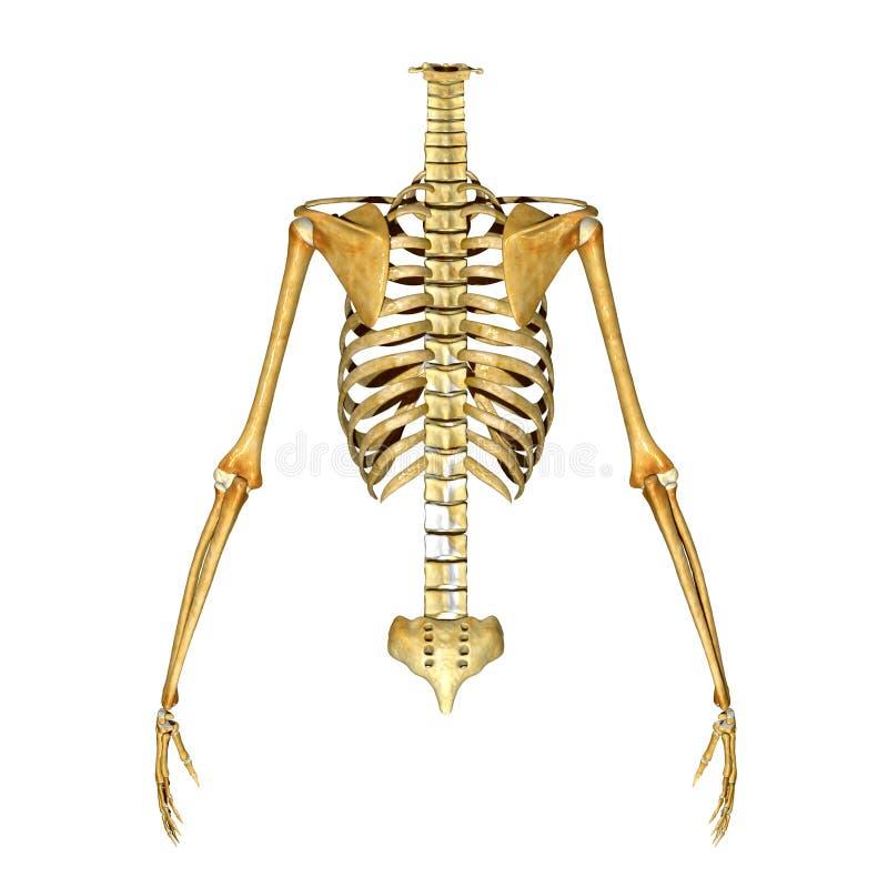 Skeleton Ribs Hand And Back Bones Stock Illustration