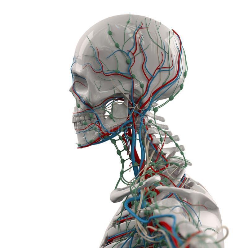 Skeleton Seitenansicht Des Menschlichen Anatomieporzellans Mit Adern ...