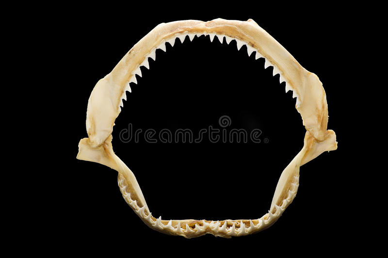 Skeleton of a shark's mouth stock photography