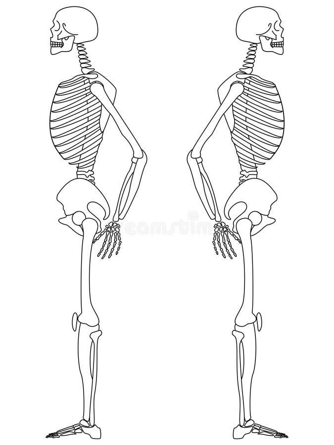 Download Skeleton: Side View stock vector. Image of bones, halloween - 11827135