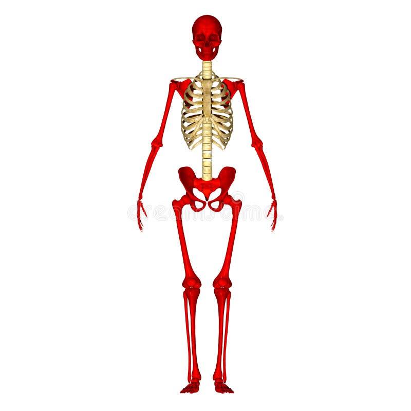 Skeleton Stock Illustration Illustration Of Anatomy 44688916