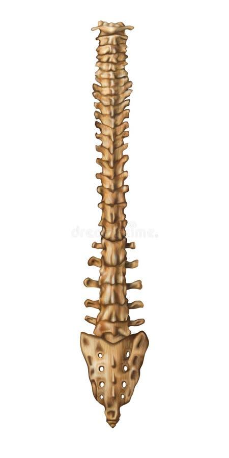Skeleton Spine Back vector illustration
