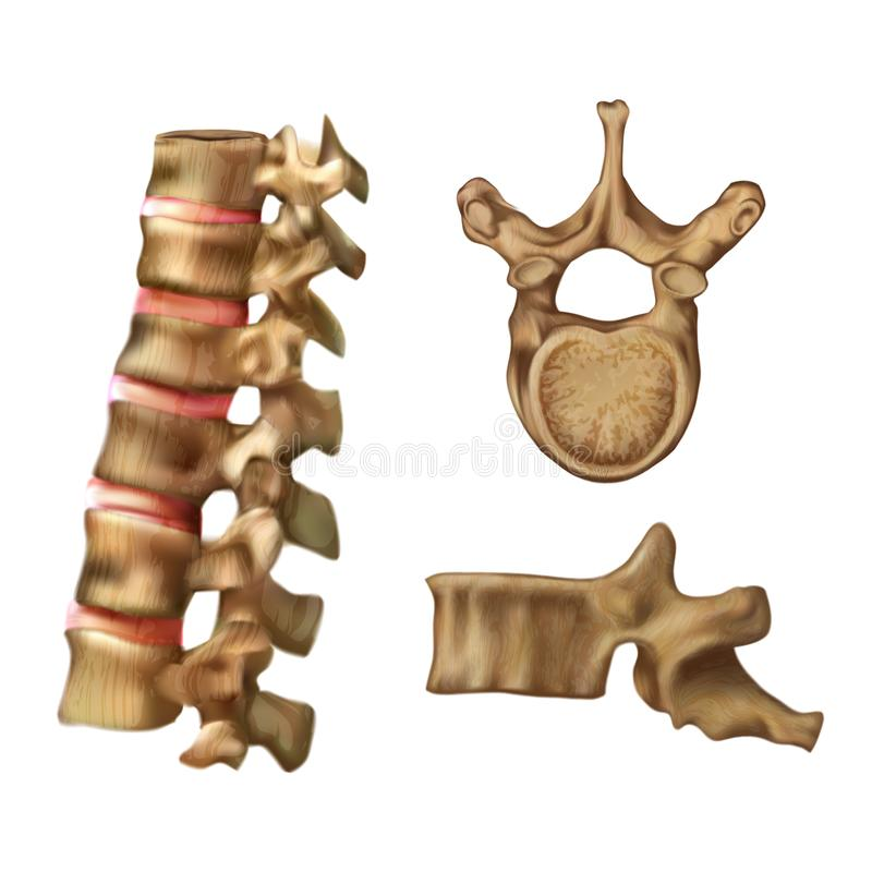 Skeleton Spine Structure of the 6th vertebra stock illustration