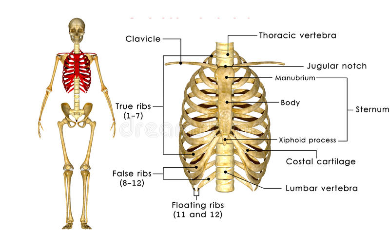 Skeleton Of Thorax Stock Illustration Illustration Of Cage 46788020