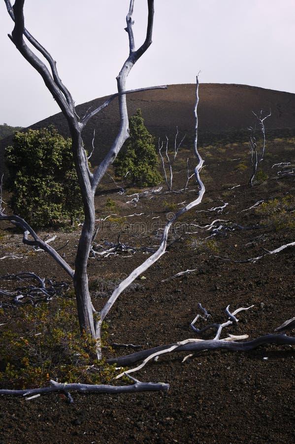 Download Skeleton Trees, Lava Field, Hawaii Stock Image - Image: 15298925