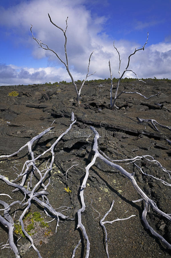 Skeleton Trees, Lava Field, Hawaii Royalty Free Stock Photography