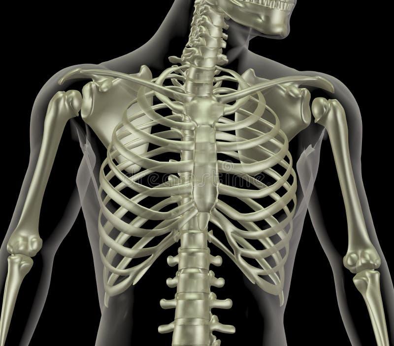 Skeleton Vertretungsabschluß oben des Ripperahmens lizenzfreie abbildung
