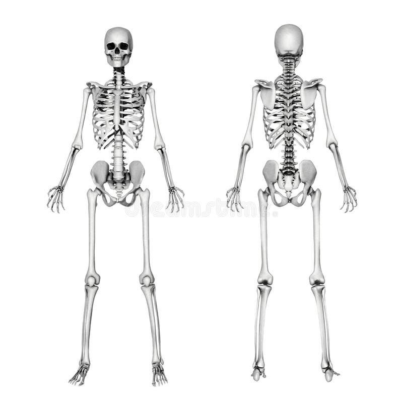Skeleton vorderes u. rückseitig - Bleistift-Zeichnung vektor abbildung