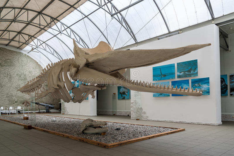 The skeleton of the whale. Museum of the World Ocean in Kaliningrad. Russia. royalty free stock photo