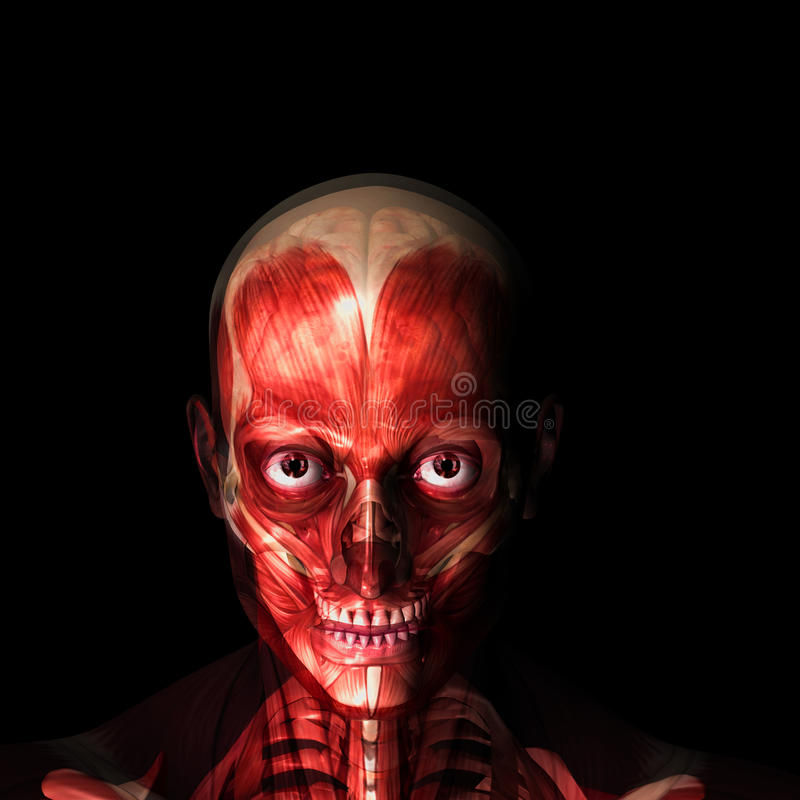Skeleton X-Ray - Muscles And Brain Royalty Free Stock Image