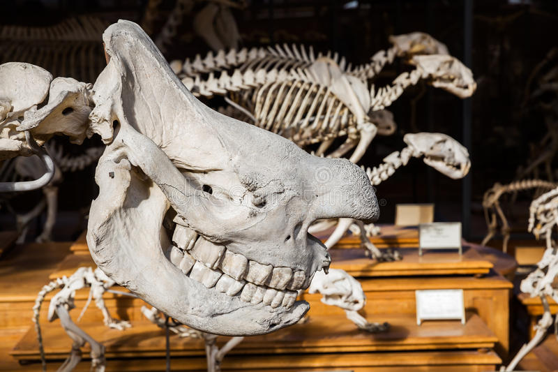 Skeletons of animals in the Gallery of Palaeontology and Comparative Anatomy in Paris. Paris, France - October 16, 2016: . Is a part of the National Museum of royalty free stock photos