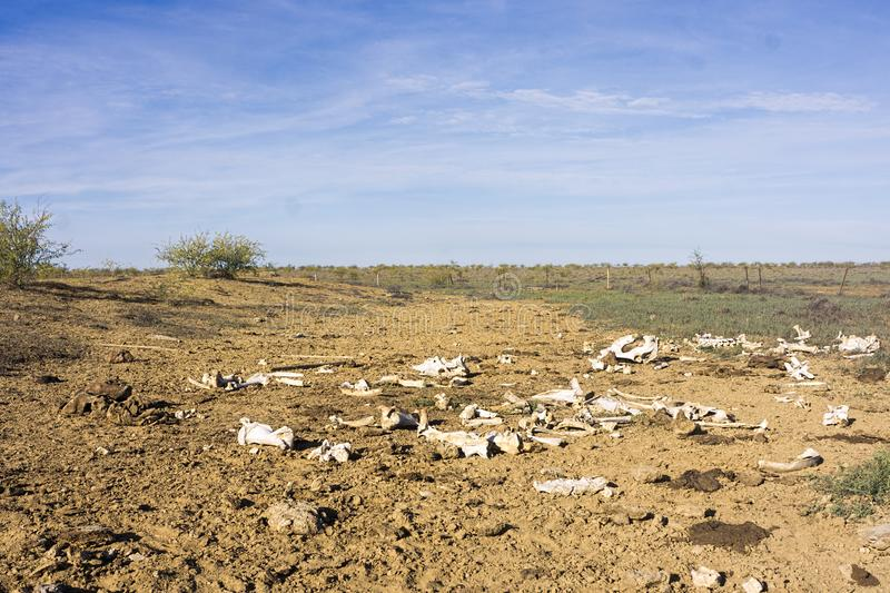Skeletons of dead cattle after drought royalty free stock image