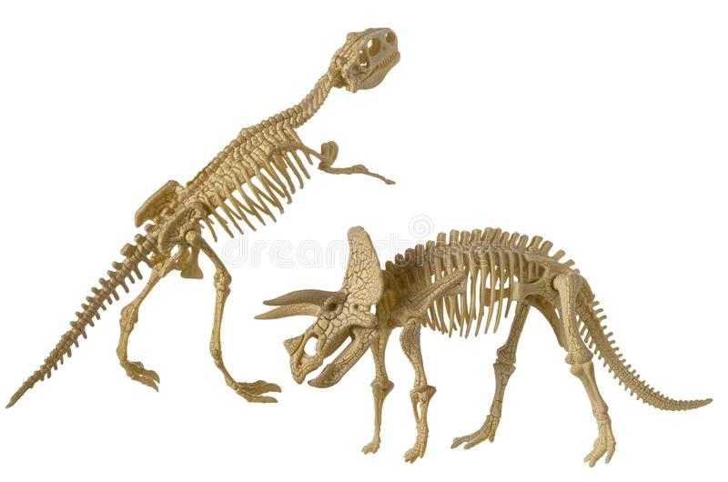 Skeletons of dinosaur Triceratops and Tyrannosaurus Rex plastic isolated on white background. Close up royalty free stock photos