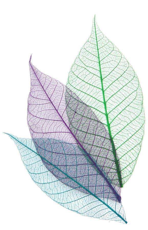 Download Skeletons Of Leaves Stock Image - Image: 26988181