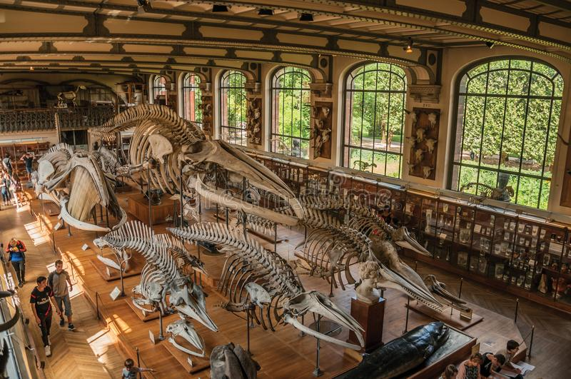 Skeletons of marine mammals at hall in Gallery of Paleontology and Comparative Anatomy at Paris. stock photography