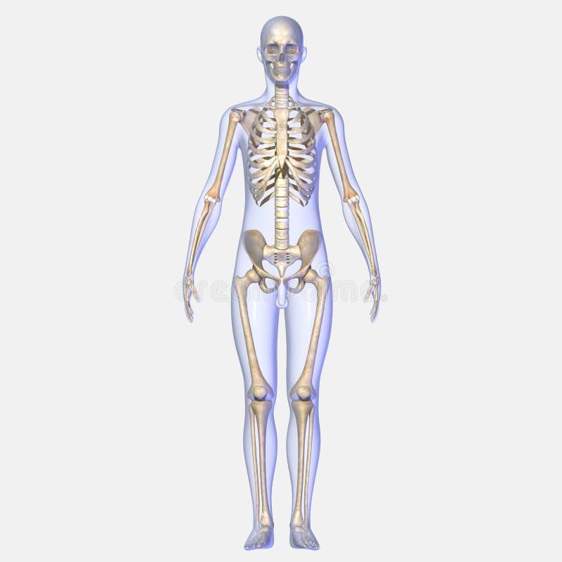 Skelett stock abbildung. Illustration von knochen, brust - 43014375