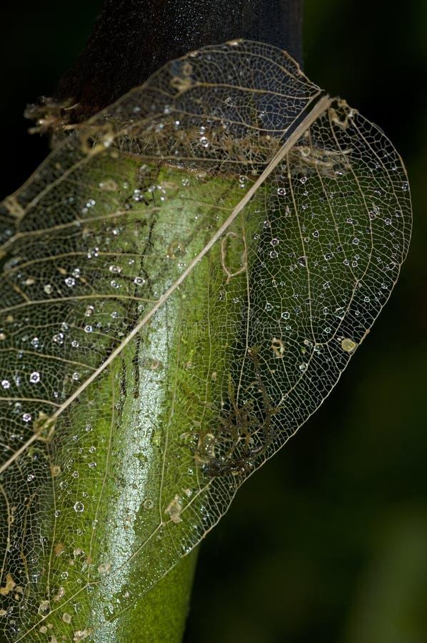 Skelett Av En Riden Ut Leaf Royaltyfria Bilder