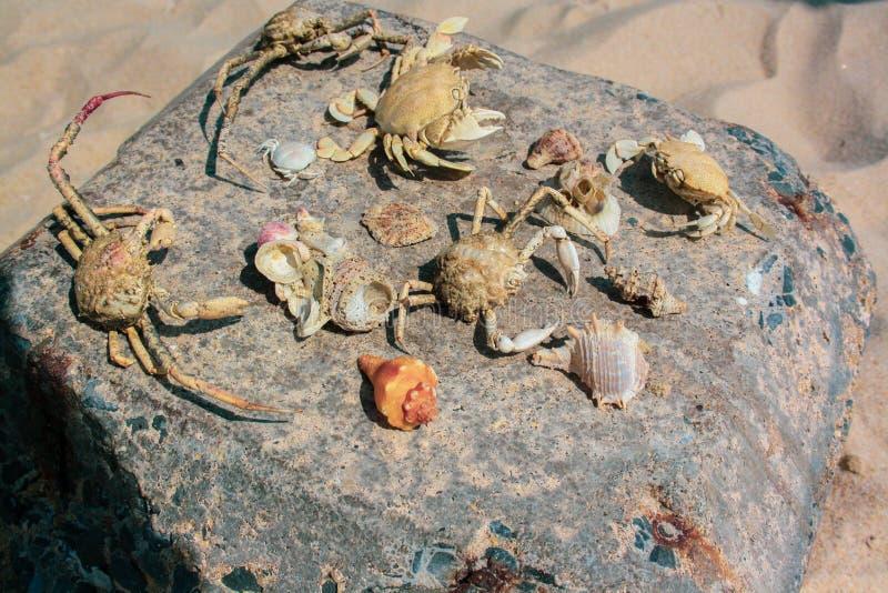 Skelett av krabbor och skal lade ut på en stor sten arkivfoton