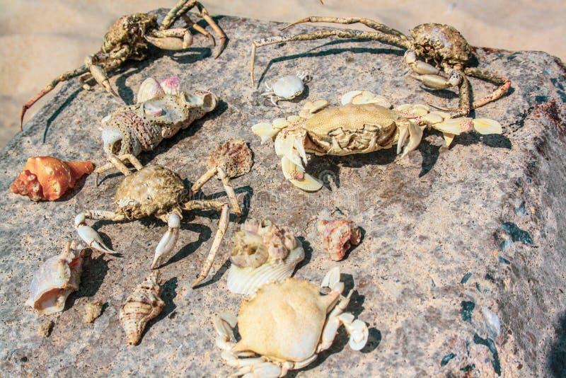 Skelett av krabbor av olika former som samlas på stranden och skal, ligger på stenen arkivbild
