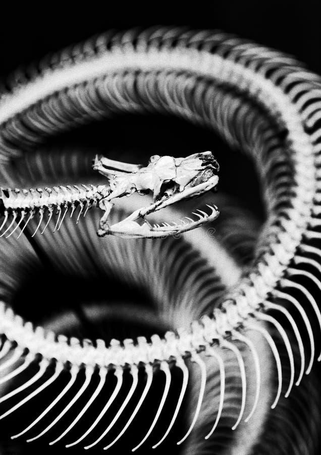 Skelett av ormen royaltyfria foton