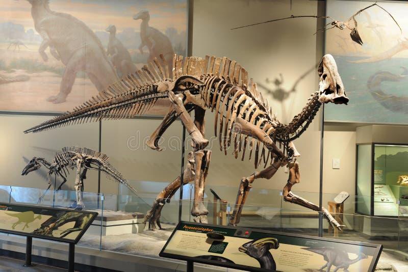 Skelett av Parasaurolophus royaltyfri bild