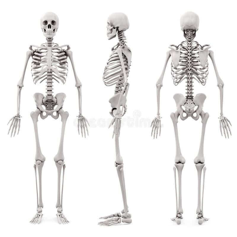 Skelett des Menschen 3D stock abbildung. Illustration von abbildung ...