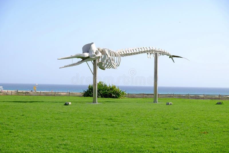 Skelett des Pottwals Morro Jable, Fuerteventura, Spanien - 17 02 2017 stockfotos