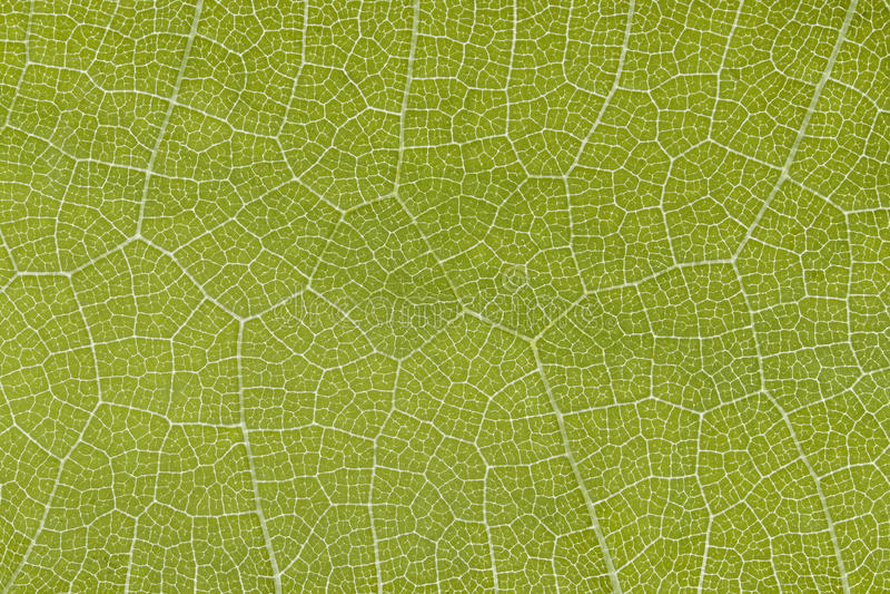 Skelett des Traubenblattes auf einem Schimmer lizenzfreies stockfoto