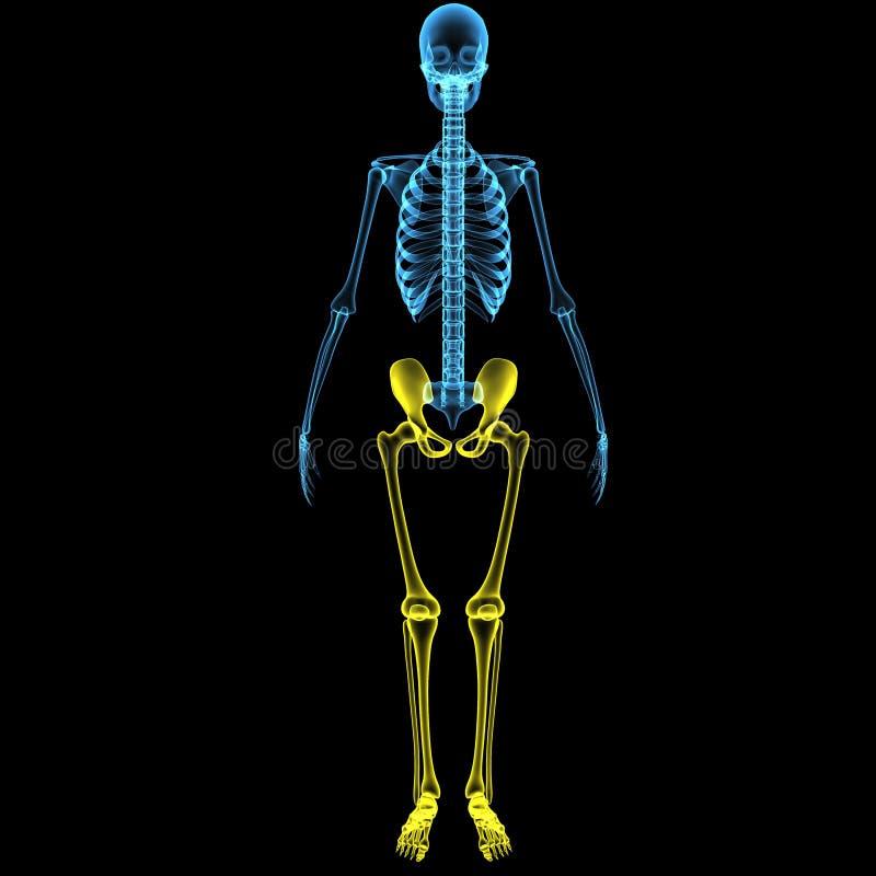 Ausgezeichnet Markiertes Skelett Knochen Fotos - Anatomie Von ...