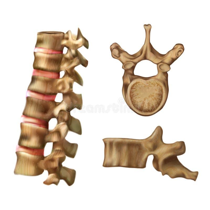 Skelett- inbindningsstruktur av den 6th kotan stock illustrationer