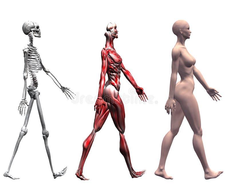 skelett- mänskliga muskler för kvinnlig stock illustrationer