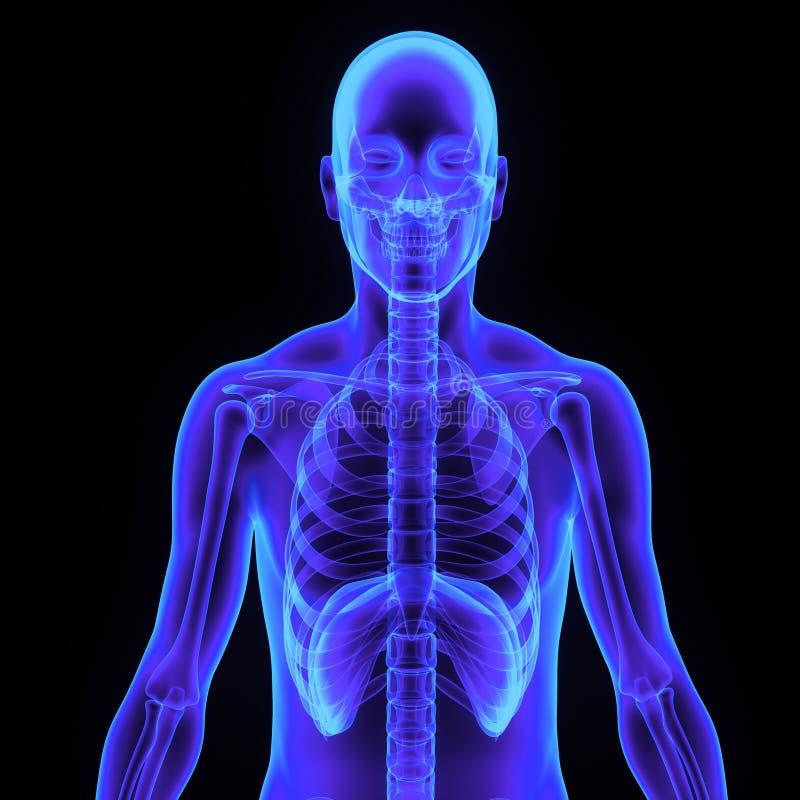 Skelett med kroppen royaltyfri foto