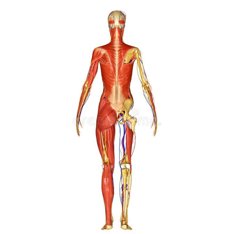 Skelett med muskler tillbaka royaltyfri illustrationer