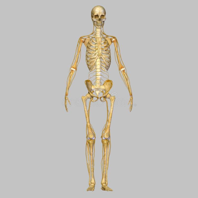 Skelett med nerver stock illustrationer