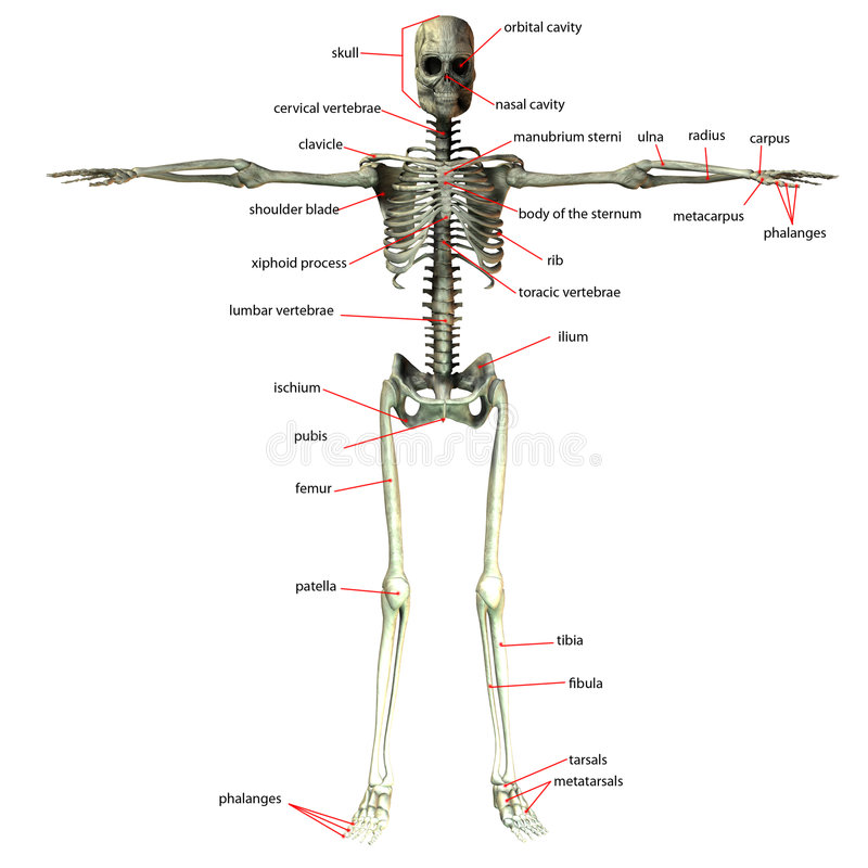 Skelett mit Knochennamen stock abbildung. Illustration von skelett ...