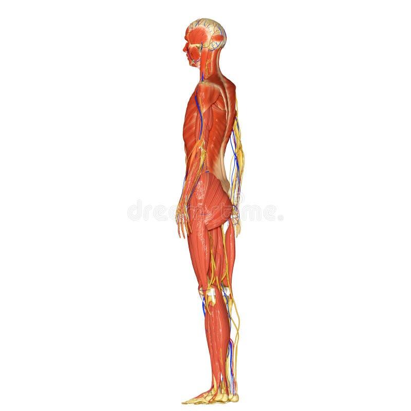 Skelett mit Muskelseite stockfoto. Bild von axial, skelett - 43014294