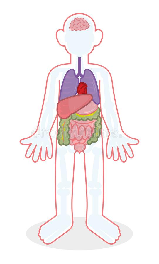 Skelett och organ stock illustrationer