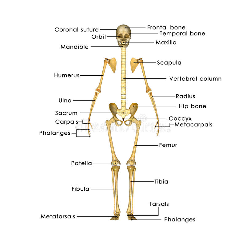 Skelett ohne Brustkorb stock abbildung. Illustration von hand - 46887499