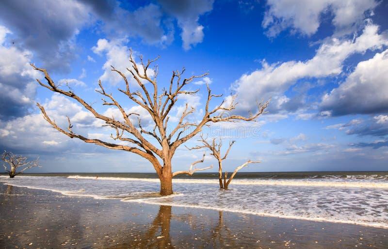 Skelett- träd på kusten Charleston South Carolina royaltyfri fotografi