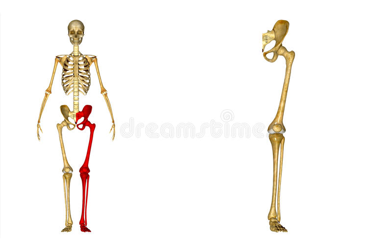 Skelett: Vänstersidabenben: Höft-, lårben-, tibia-, fibula-, ankel- och fotben vektor illustrationer